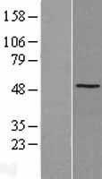 NBL1-16464 - SSB Lysate
