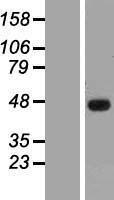 NBL1-16467 - SSBP3 Lysate