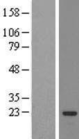 NBL1-16486 - SSX3 Lysate