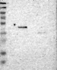 NBP1-87044 - ST3GAL2