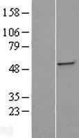 NBL1-16493 - ST3GAL5 Lysate