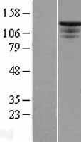 NBL1-16494 - ST5 Lysate