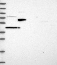 NBP1-84771 - ST7