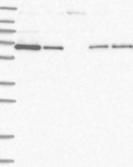 NBP1-83288 - STAM2