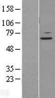 NBL1-16510 - STAM2 Lysate