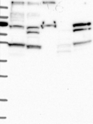 NBP1-89135 - STAMBPL1