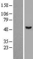 NBL1-16513 - STAMBPL1 Lysate