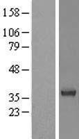 NBL1-16514 - STAP-1 Lysate