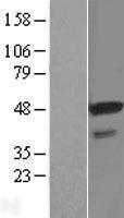 NBL1-16515 - STAP2 Lysate