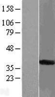 NBL1-16522 - START domain containing 7 Lysate