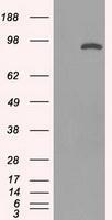 NBP1-48013 - STAT1