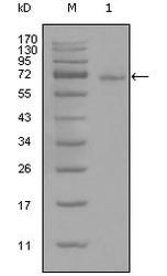 NBP1-51562 - STAT3