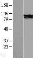 NBL1-16529 - STAT6 Lysate
