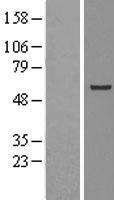 NBL1-11748 - STCH Lysate