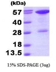 NBP1-30289 - STIP1