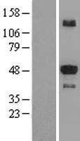 NBL1-16545 - STK25 Lysate