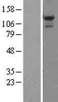 NBL1-16548 - STK31 Lysate