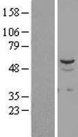 NBL1-16553 - STK38L Lysate