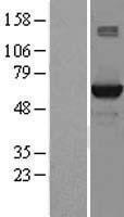NBL1-16554 - STK39 Lysate