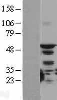 NBL1-16555 - STK4 Lysate