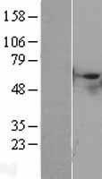 NBL1-16556 - STK40 Lysate