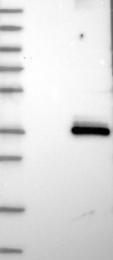 NBP1-84832 - STOML3