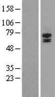 NBL1-16566 - STRA6 Lysate