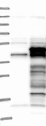 NBP1-80645 - Syntaxin 18 / STX18