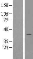 NBL1-16577 - STX18 Lysate