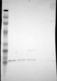 NBP1-82454 - SUB1 / PC4