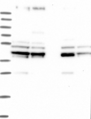 NBP1-85860 - SUCLA2