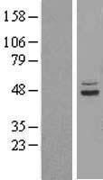 NBL1-16594 - SUCLA2 Lysate