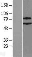 NBL1-15949 - SUR-8 Lysate
