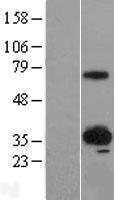 NBL1-16624 - SUSD4 Lysate