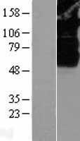 NBL1-16631 - SV2B Lysate