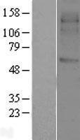 NBL1-16632 - SVOP Lysate