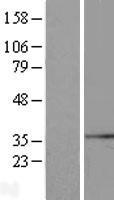 NBL1-16636 - SYF2 Lysate