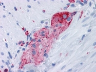 NBP1-47483 - SYPL1 / Pantophysin