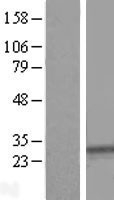 NBL1-16645 - SYPL1 Lysate