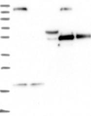 NBP1-85848 - Synaptotagmin-17