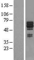 NBL1-16650 - SYT17 Lysate