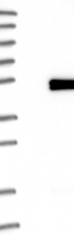 NBP1-81588 - Synaptotagmin-7
