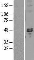 NBL1-16655 - SYT7 Lysate