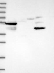 NBP1-92472 - Synaptotagmin-9