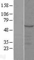 NBL1-16656 - SYT9 Lysate