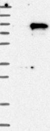 NBP1-86174 - SYTL4