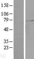 NBL1-16658 - SYTL4 Lysate