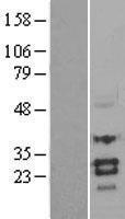 NBL1-16341 - Sclerostin Lysate