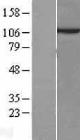 NBL1-10379 - Sec8 Lysate