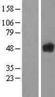 NBL1-15751 - Secernin-1 Lysate